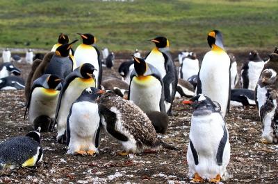 Королевские и Папуанские пингвины!